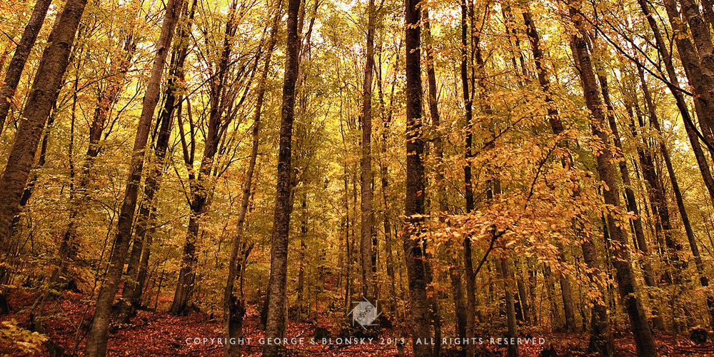 Forest at Nymfaio resplendent in golden autumn colours photographed during our autumn 2013 landscape photography workshop and tour of northern Greece
