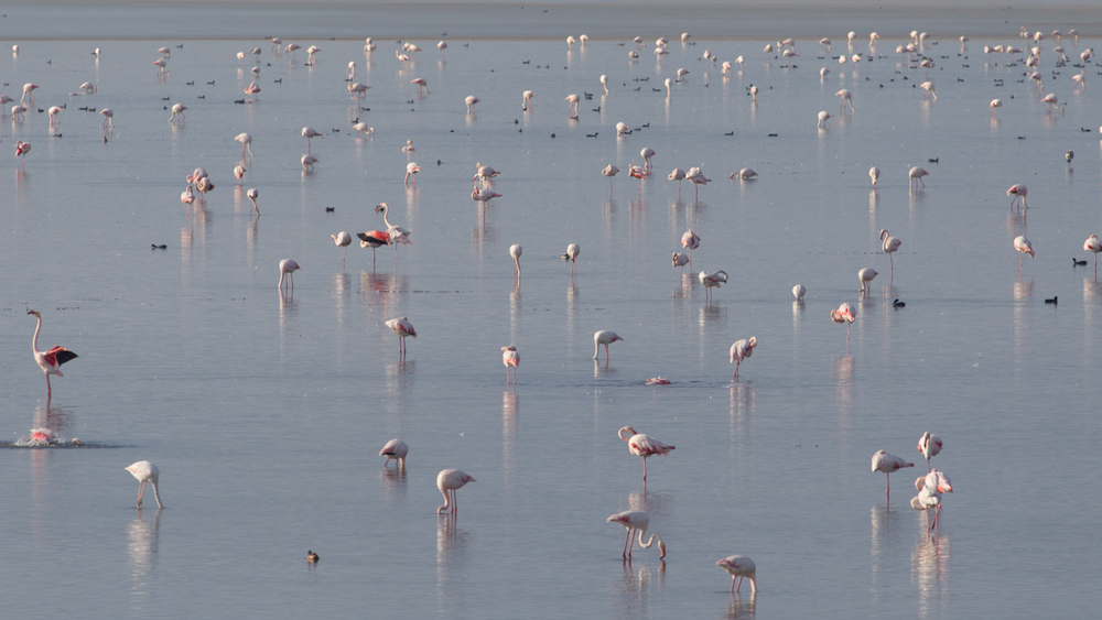 Greater Flamingos photographed during our 5 day autumn wildlife and bird photography tour of Lake Kerkini