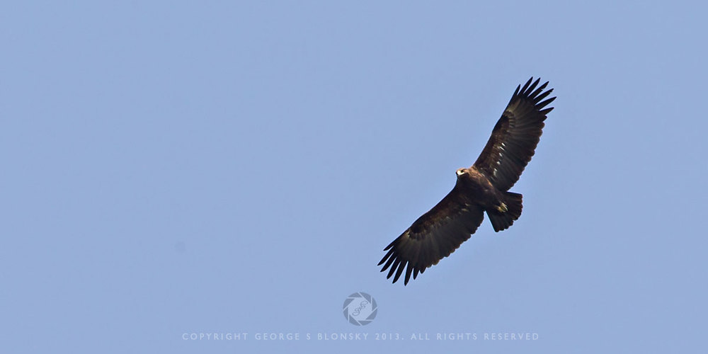 Greater Spotted Eagle photographed during our 5 day autumn wildlife and bird photography tour of Lake Kerkini