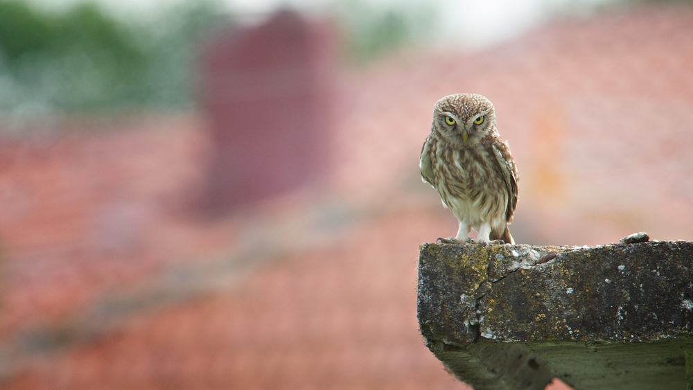 little owl, athena noctua, photographed during wildlife and bird photography workshop and tour of Lake Kerkini in Greece