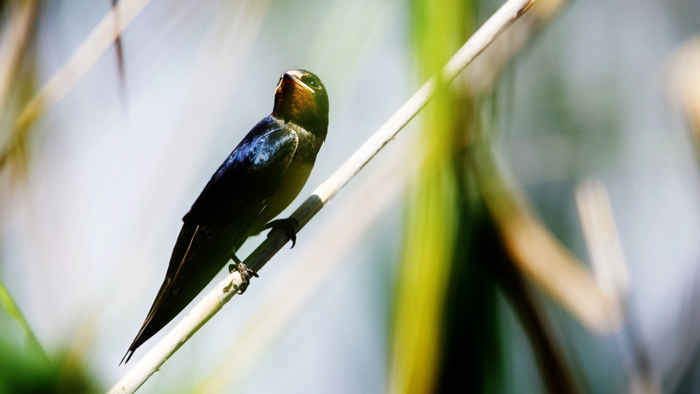BarnSwallow.jpg