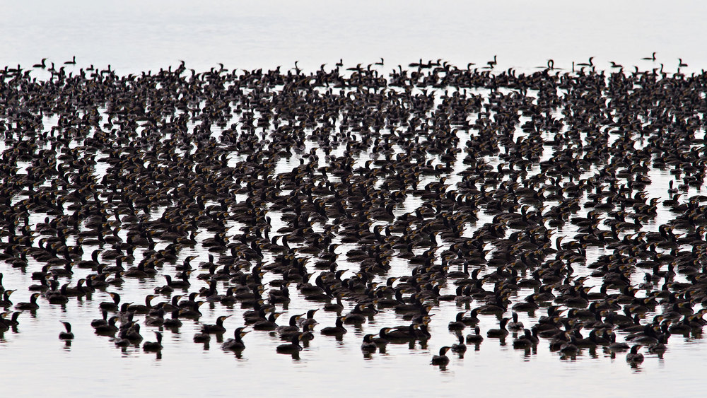 Cormorants.jpg