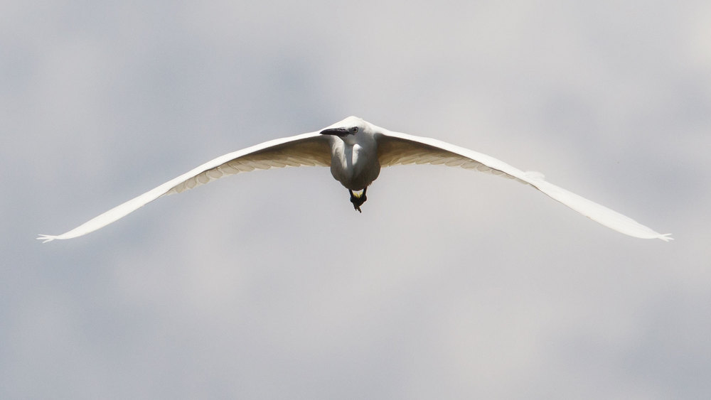 Egret.jpg