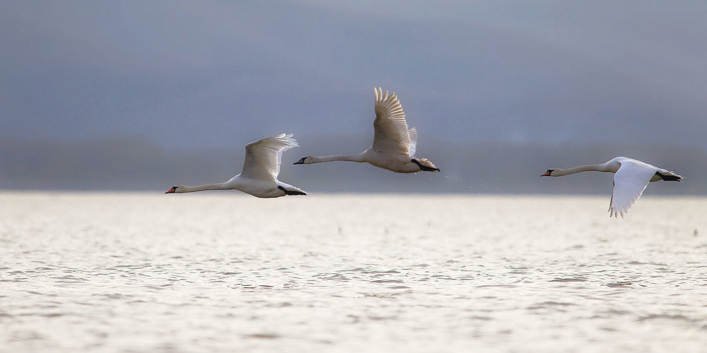 Mute swans photographed on Lake Kerkini during one of our wildlife and bird photography workshops and tours.
