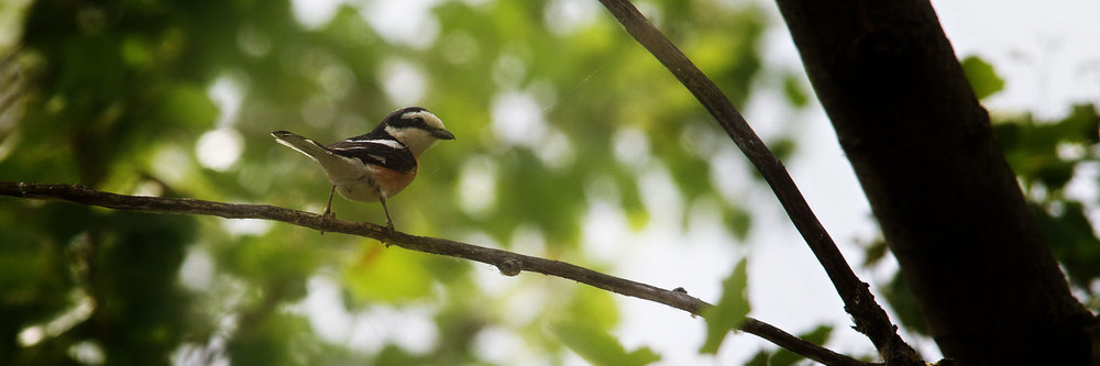 Masked Shrike photographed at Lake Kerkini during one of our wildlife and bird photography workshops and tours