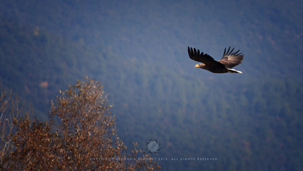 White Tailed Sea Eagle photographed during our December 2013 wildlife and bird photography tour of Lake Kerkini;