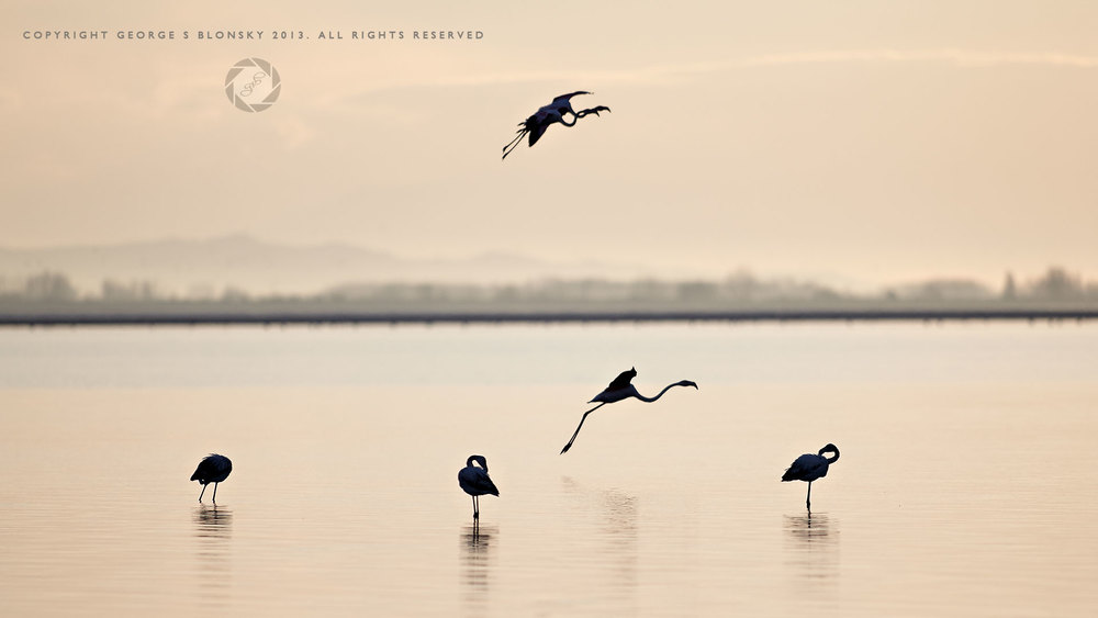 Flamingos at dawn on Lake Kerkini