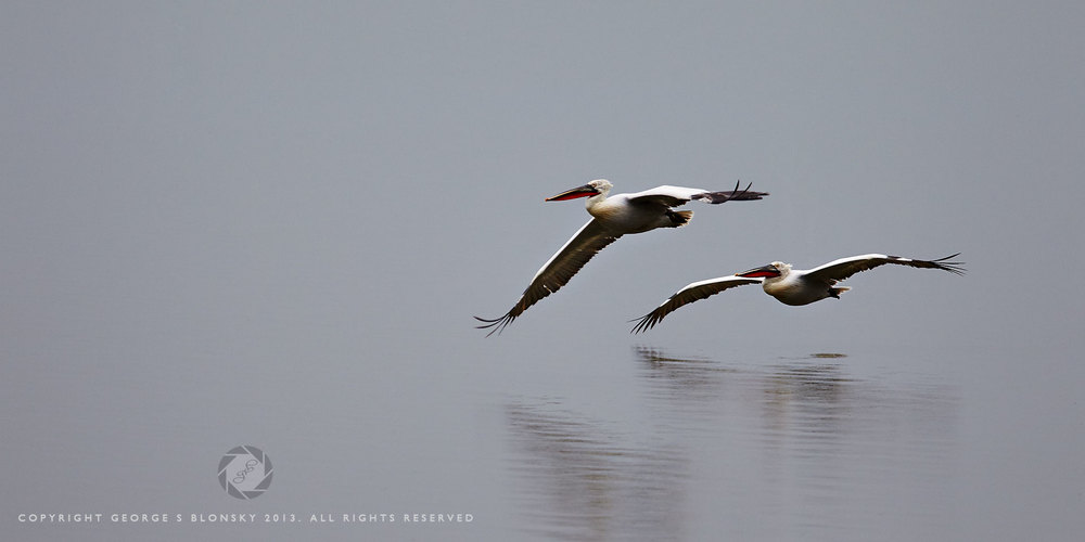 Dalmatian Pelicans gliding flight over Lake Kerkini
