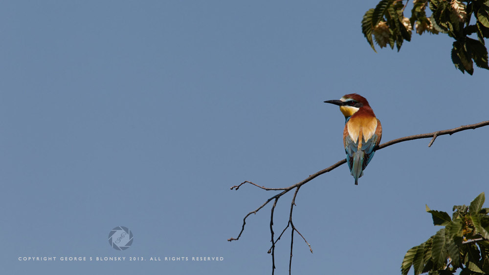 European Bee-Eater at Lake Kerkini