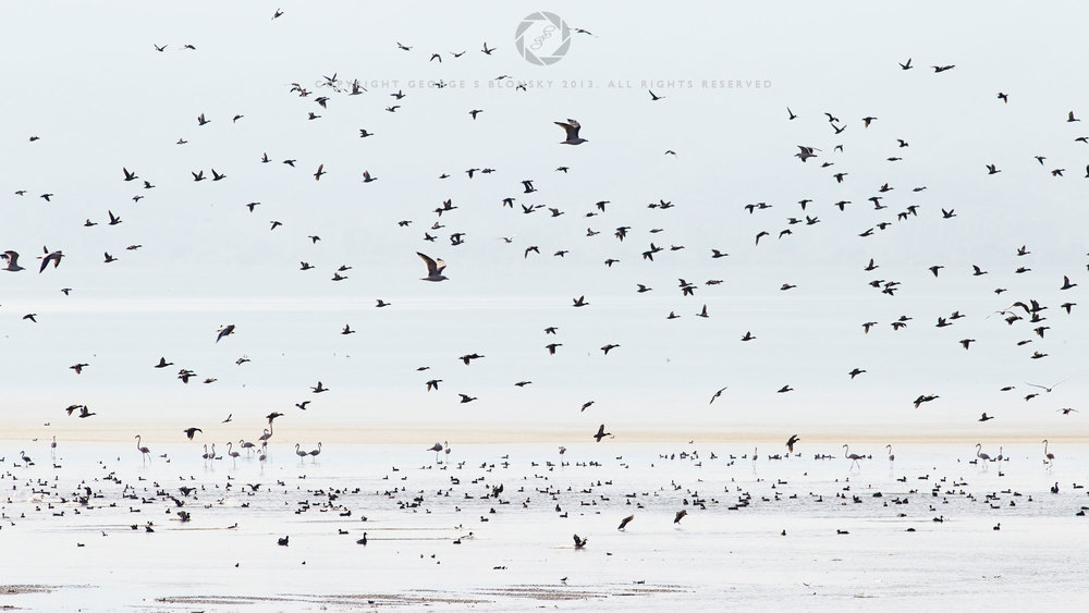 Waterbirds in flight over Lake Kerkini