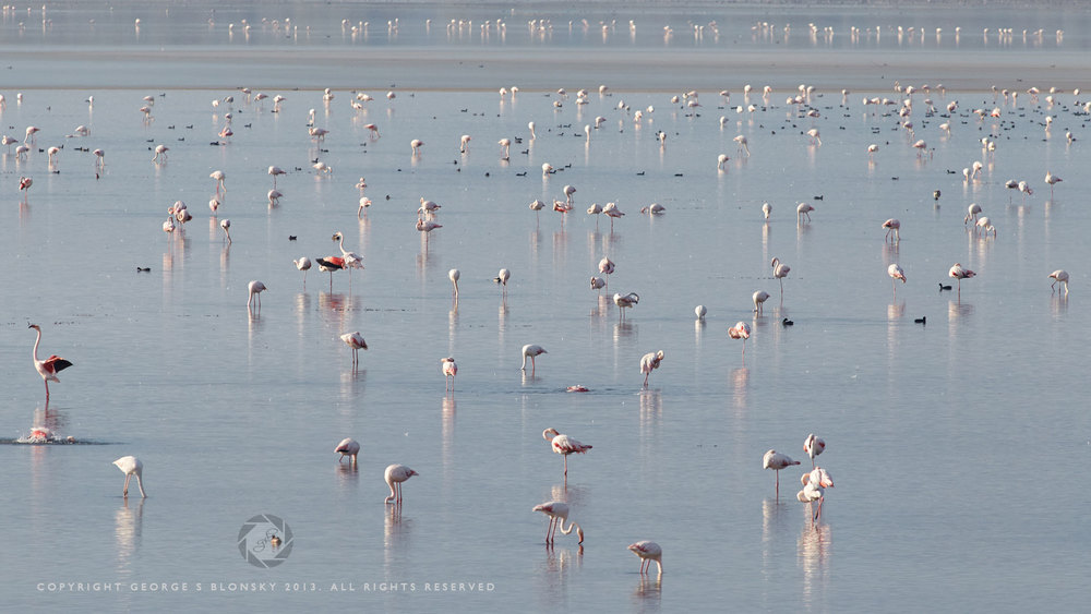 Flamingos feeding on Lake Kerkini