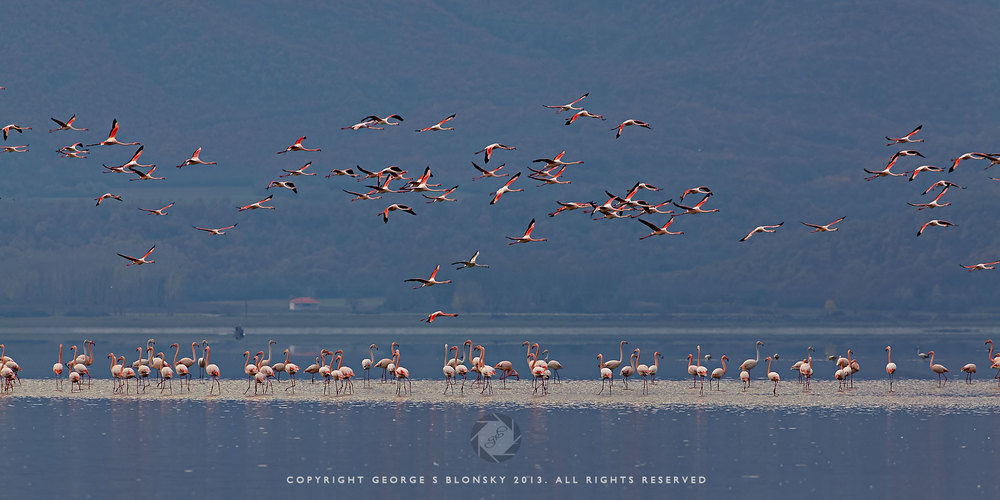 Flamingos in flight over Lake Kerkini