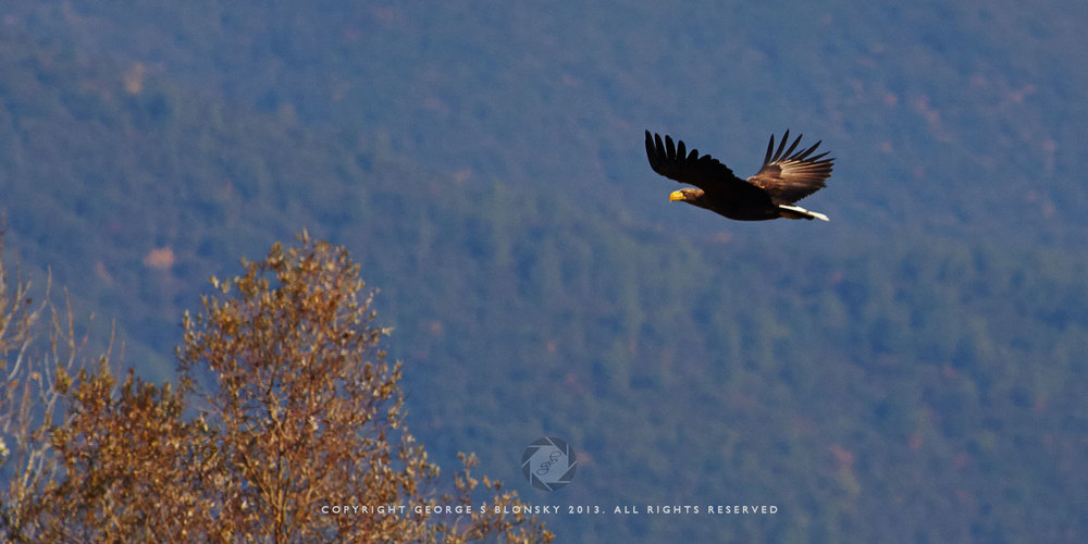 White Tailed Eagle in flight over Lake Kerkini
