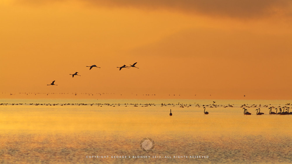 Flamingos in the orange dawn light at Lake Kerkini