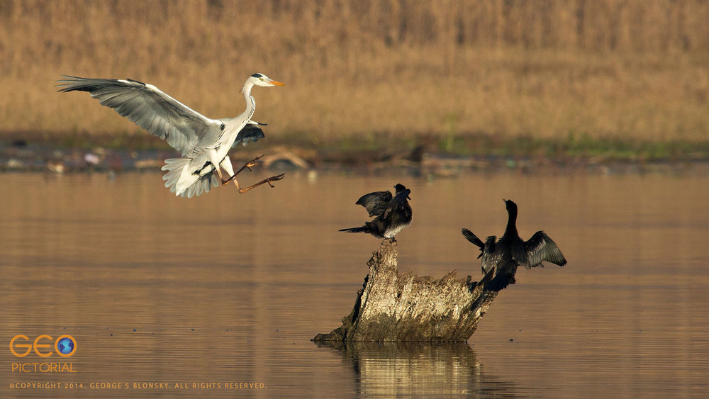Grey Heron & Pygmy Cormorants