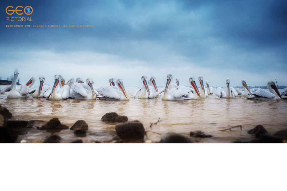 Dalmatian Pelicans at Lake Kerkini
