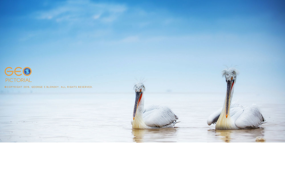 Dalmatian Pelicans at Lake Kerkini.