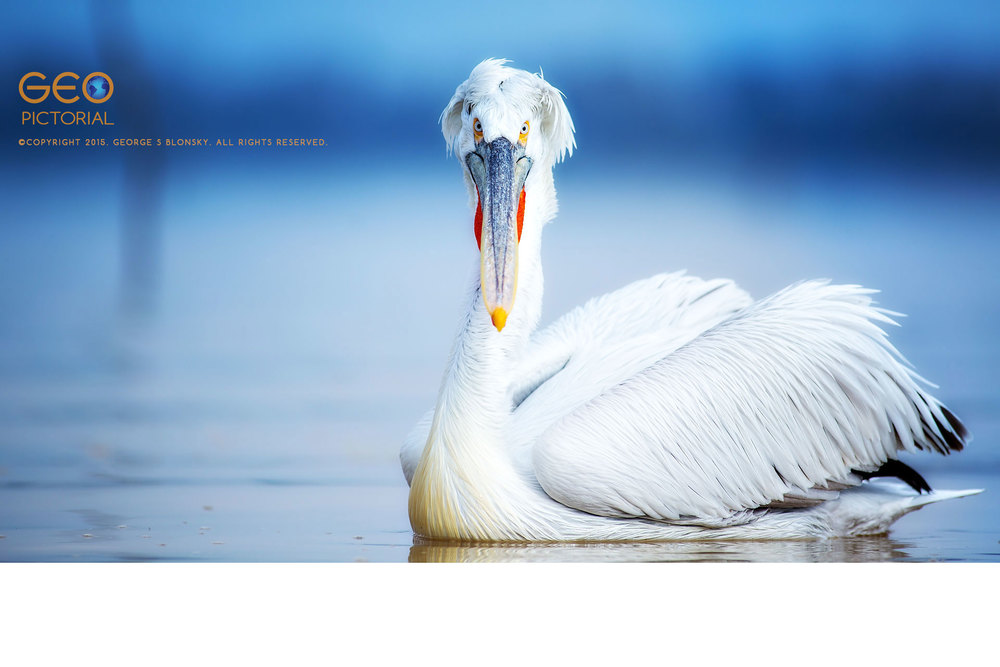 Dalmatian Pelicans at Lake Kerkini in Greece.