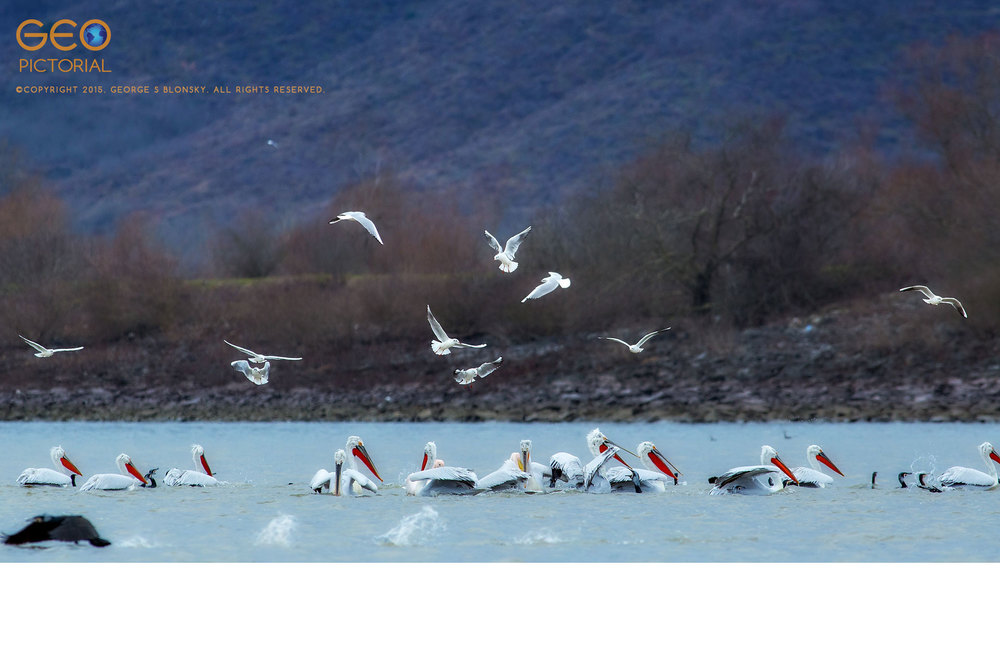 Dalmatian Pelicans, White Pelicans, Cormorants and Black-headed Gulls in a feeding frenzy