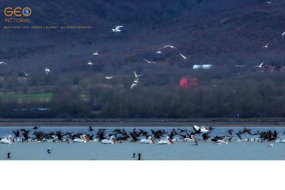 Dalmatian Pelicans, White Pelicans, Cormorants and Black-headed Gulls in a feeding frenzy.