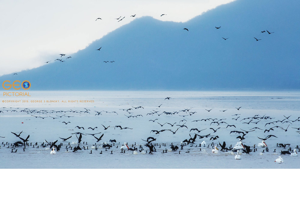Dalmatian Pelicans and Cormorants locate a school of fish