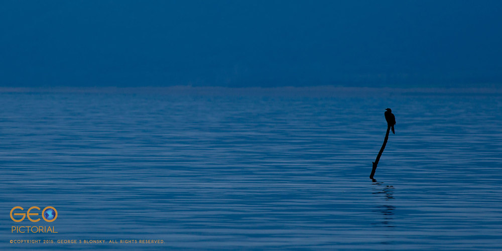 Pygmy Cormorant (Phalacrocorax pygmeus)