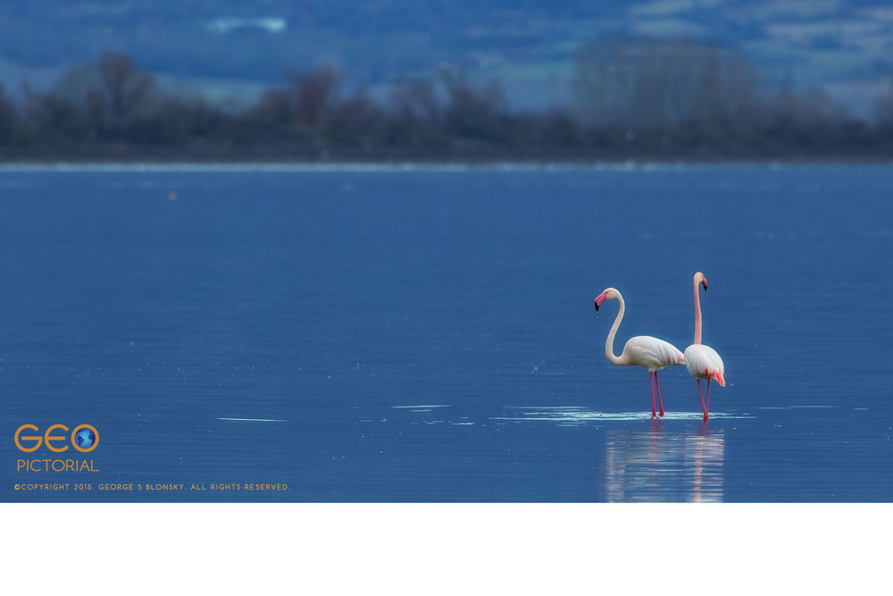 Greater Flamingos (Phoenicopterus roseus)