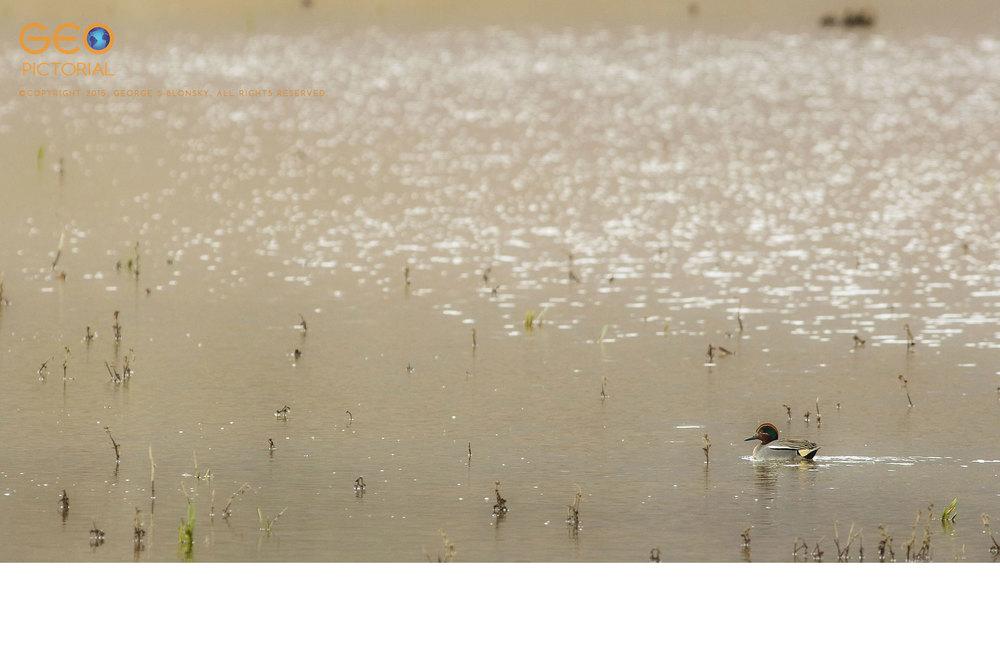 Eurasian Teal (Anas crecca)