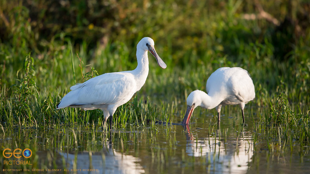 Juvenile Spoonbills learning to fend for themselves