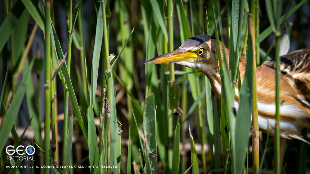 Little Bittern stalking through the reed beds of Lake Kerkini