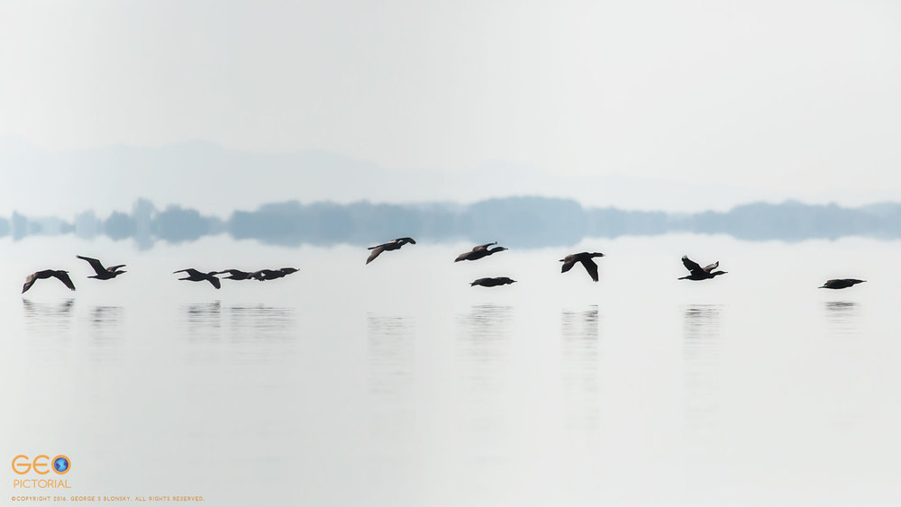 Cormorants in flight low over Lake Kerkini silhouetted in the early morning sunlight