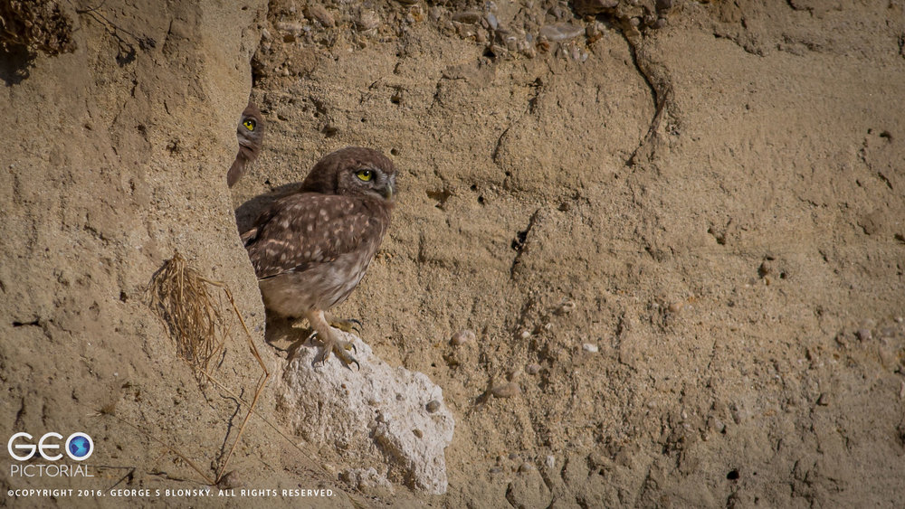 Juvenile Little Owl pokes out of his burrow