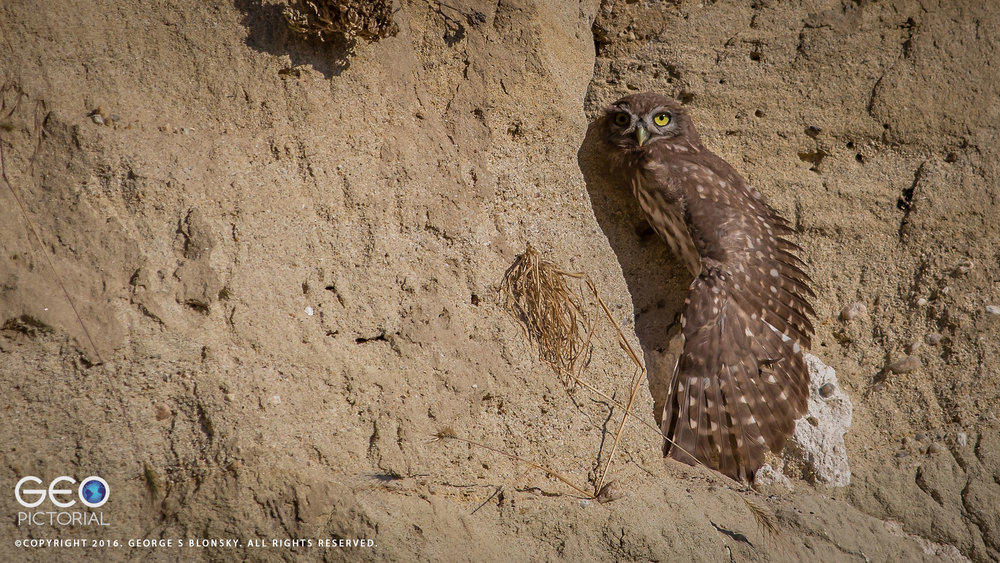 One of five juvenile Little Owls stretching his wing just outside his burrow