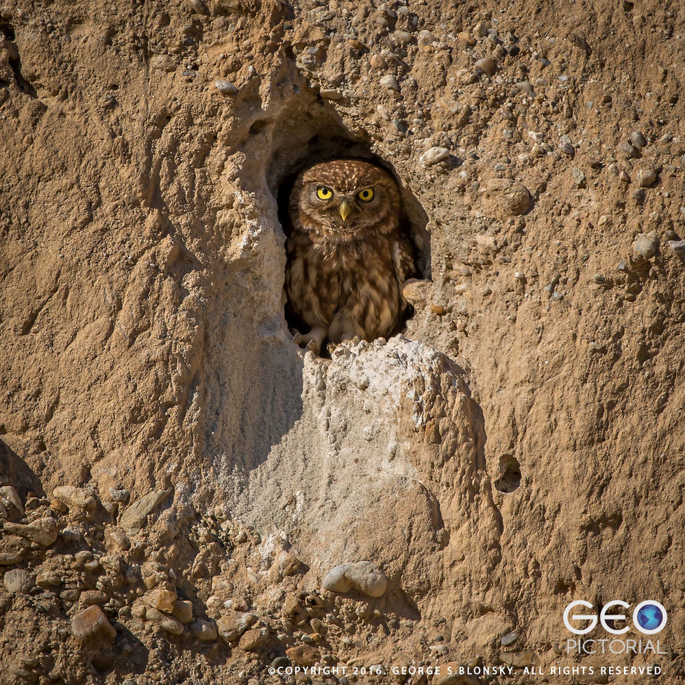 One of five juvenile Little Owls pokes out of his burrow..