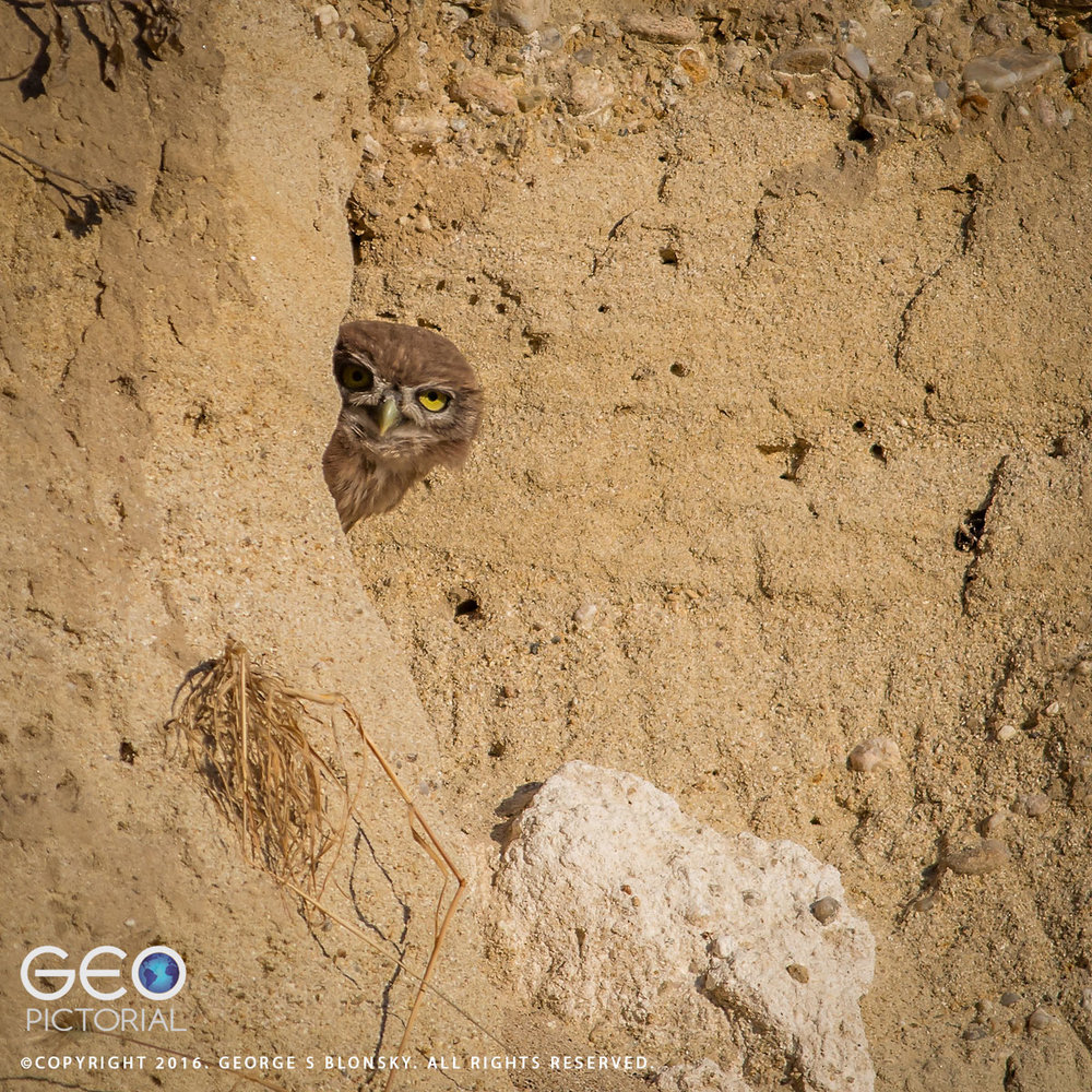One of five juvenile Little Owls takes a peek out of his burrow..