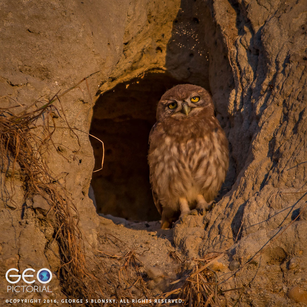 One of five juvenile Little Owls bathes in the light of the late evening sun