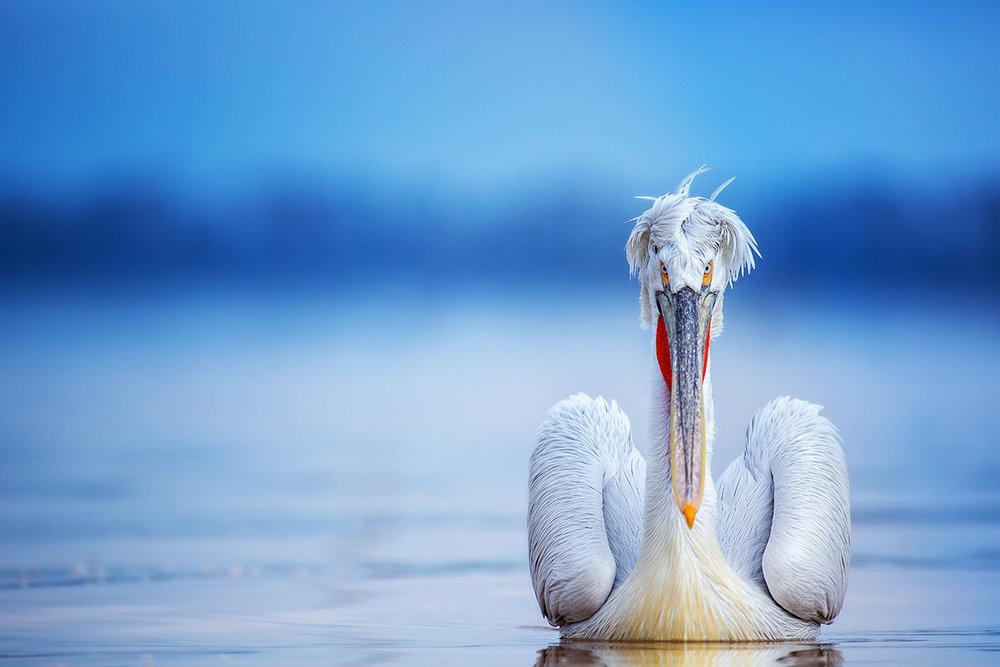 Pelican2380.jpg