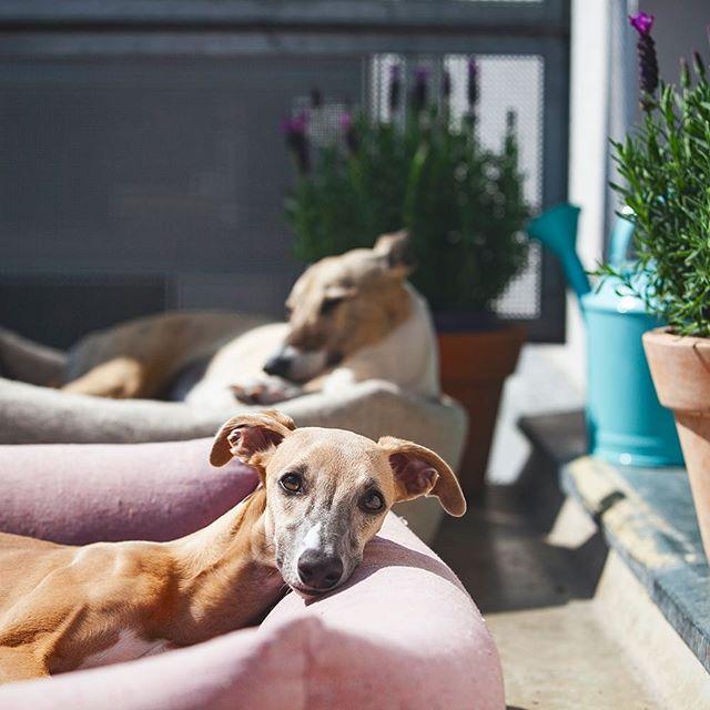 Malý piatoček 🙈💕 #balkónovélemrušky #lemrušky #petfarmfamily #welovedogs #whippet #whippets #greyhound #doglover #dogislove #lovemydog #czechdog #slovakdog #slovakiadogs #levander #summer #dogsofinstagram #pet #whippetpuppy #puppy #puppylove #igerscz #igers #môjpáničekmaľúbi #menímesvetchlpáčov www.pff.sk🌿