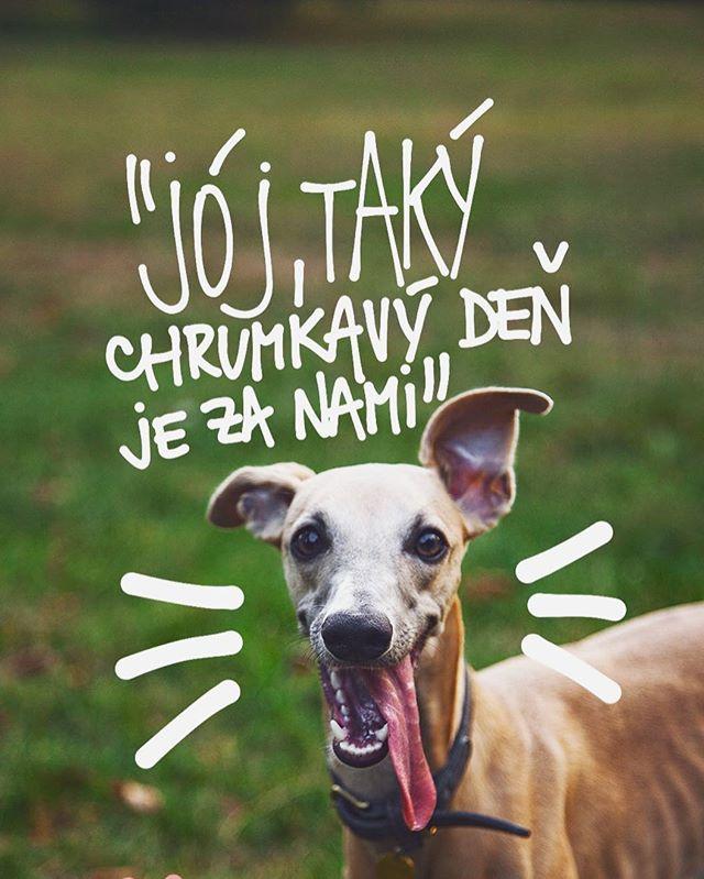 A čo ty? Aký si mal deň ty kamoško?? Tiež si popri práci vytiahol von pánička a trošku ste sa v divočine zdržali🙌🏻💕🙈🐶 viac takých dní, BAF! #petfarmfamily #menímesvetchlpáčov #nature #summer #august #welovedogs #lovemydog #cute #happydog #doglover #dogislove #greyhound #dogsofinstagram #whippetlife #whippetlove #whippetsofinstagram #igerscz #igers #vsco #sušienkašpagetkaškorica www.pff.sk🌲