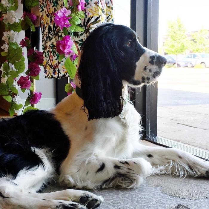 Loki - our boutique shopdog.