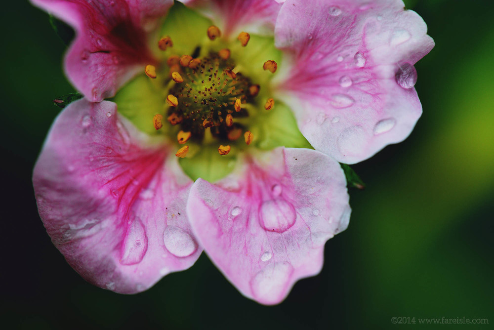 pink strawberry petals collecting droplets of rain