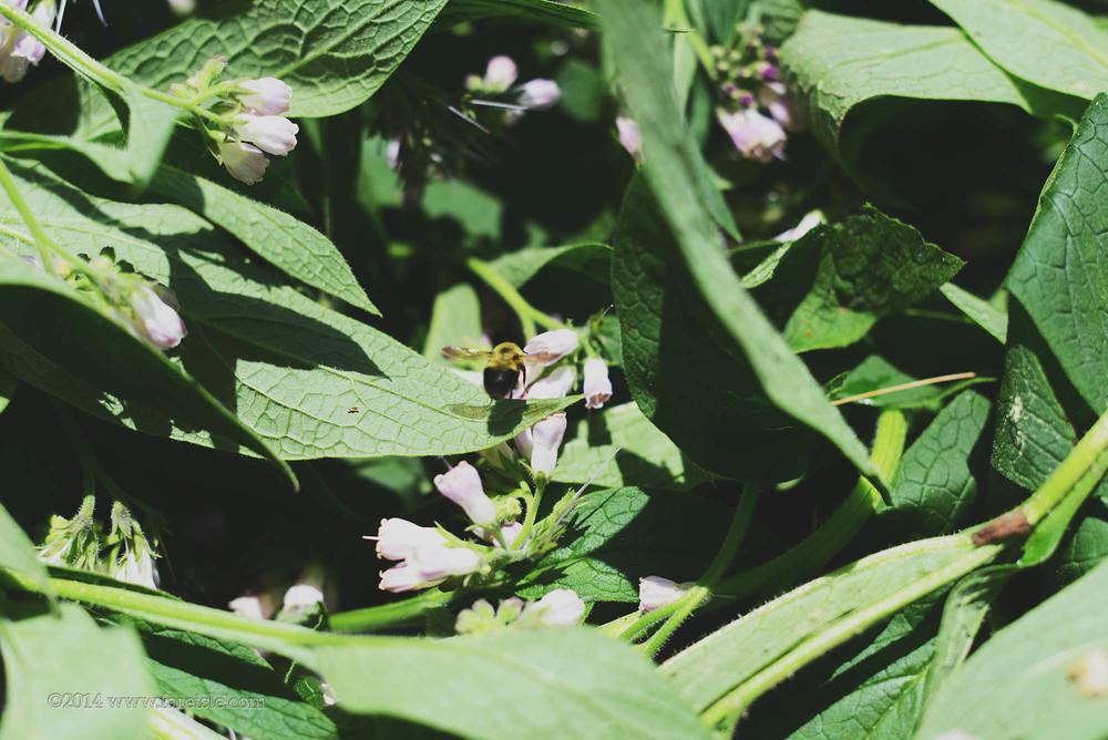 Fare Isle Blog Comfrey Harvest