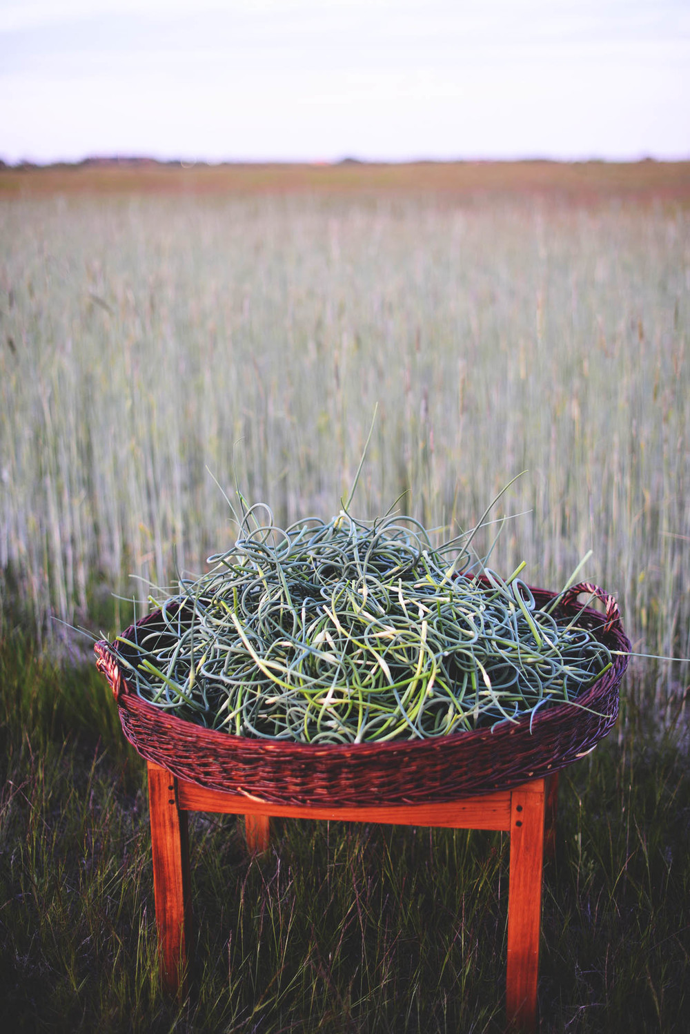 Fare Isle Blog-Harvesting Heirloom Garlic Scapes