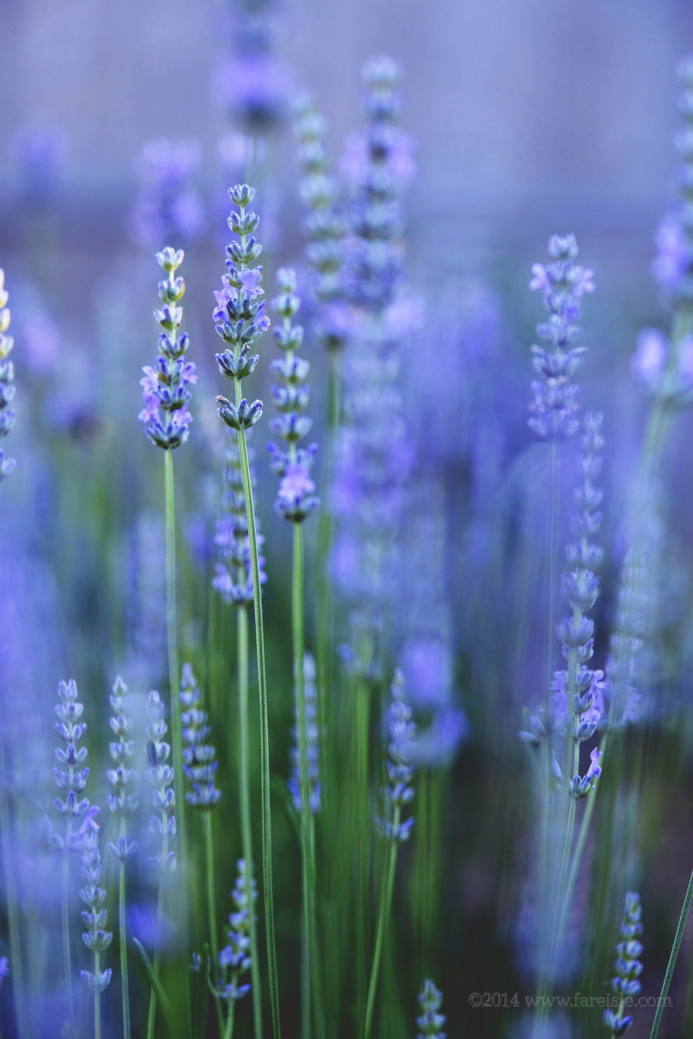 lavender in bloom