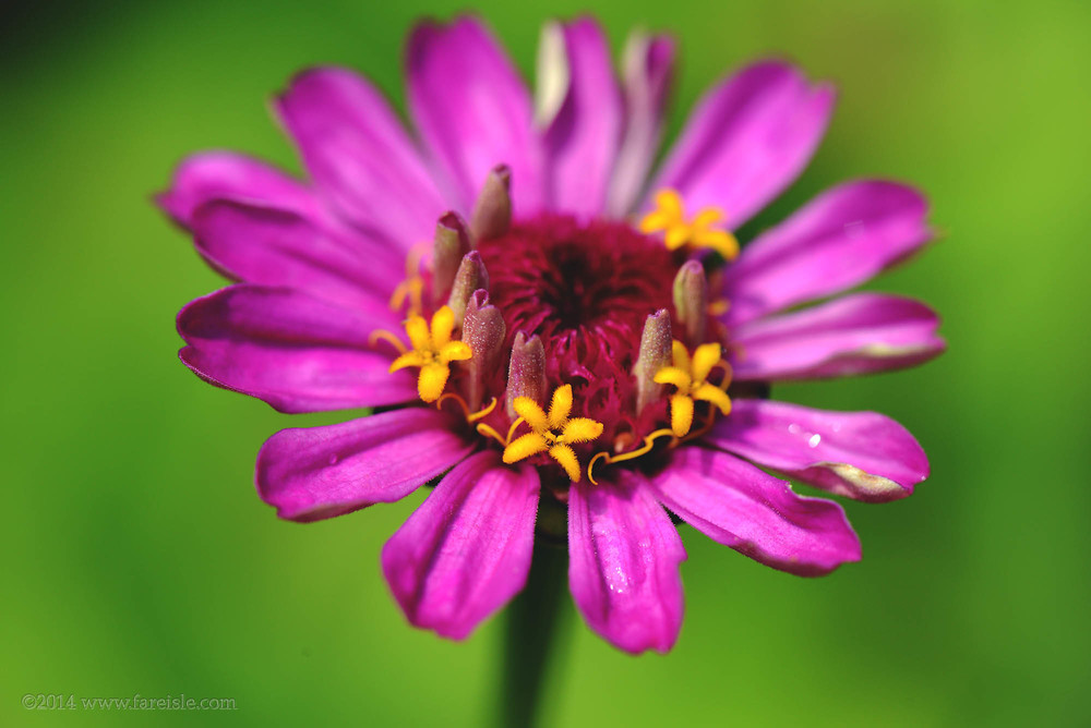 natural flower crown of a zinnia