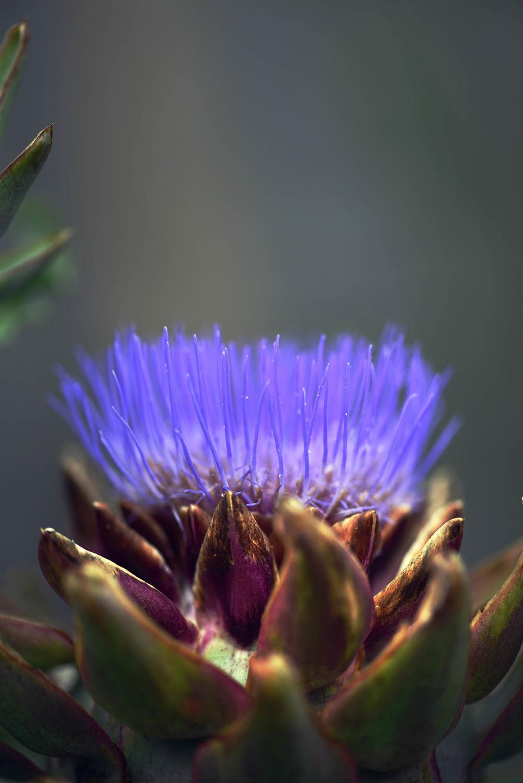 Heirloom Artichoke Flower