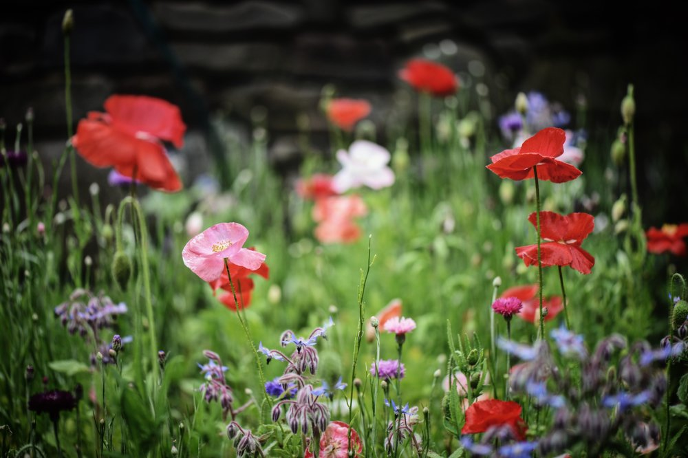 Poppies, Borage And Cornflowers