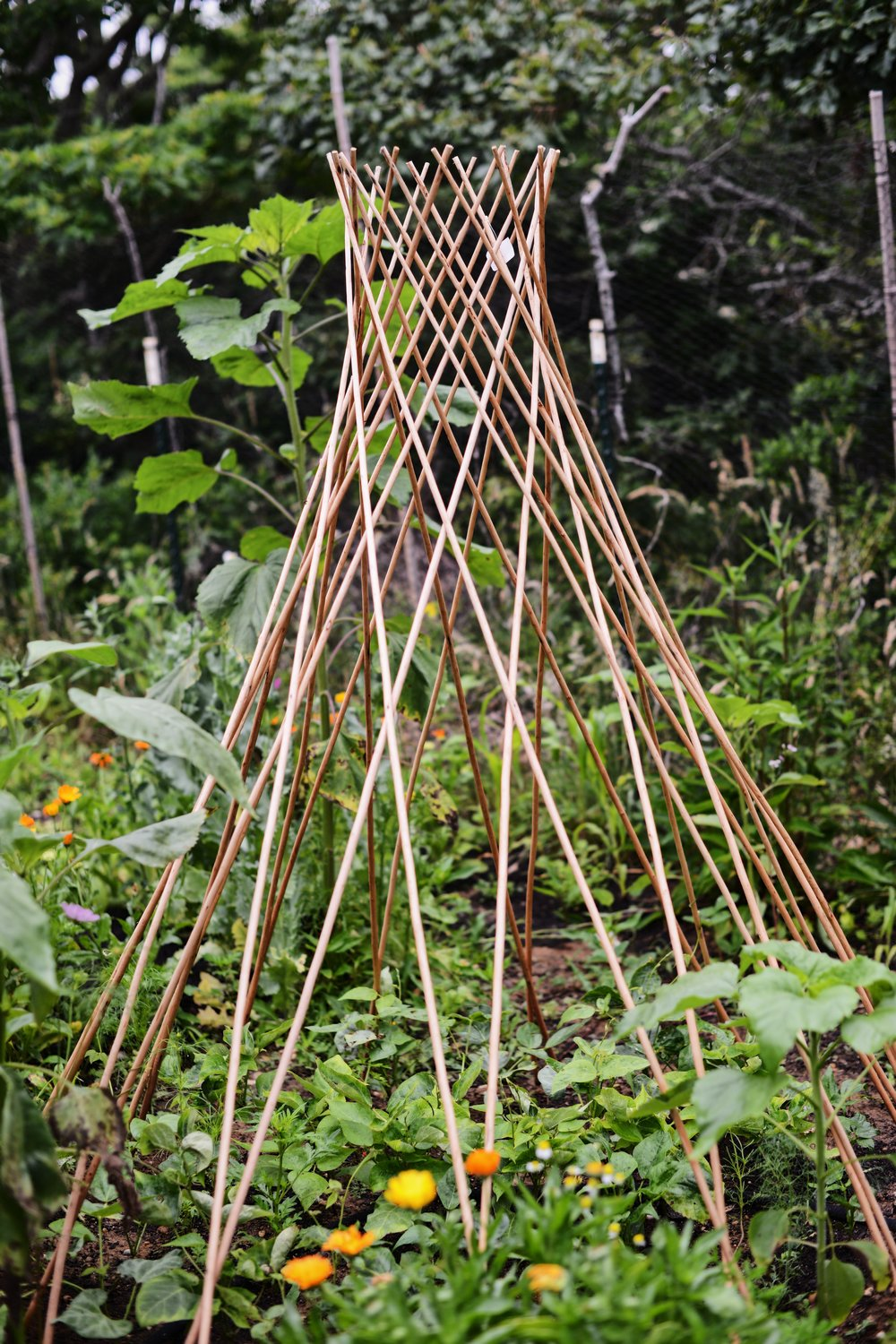 Heirloom Beans Will Cover This Large Expandable Natural Willow Trellis By Gardeners  Supply Co.