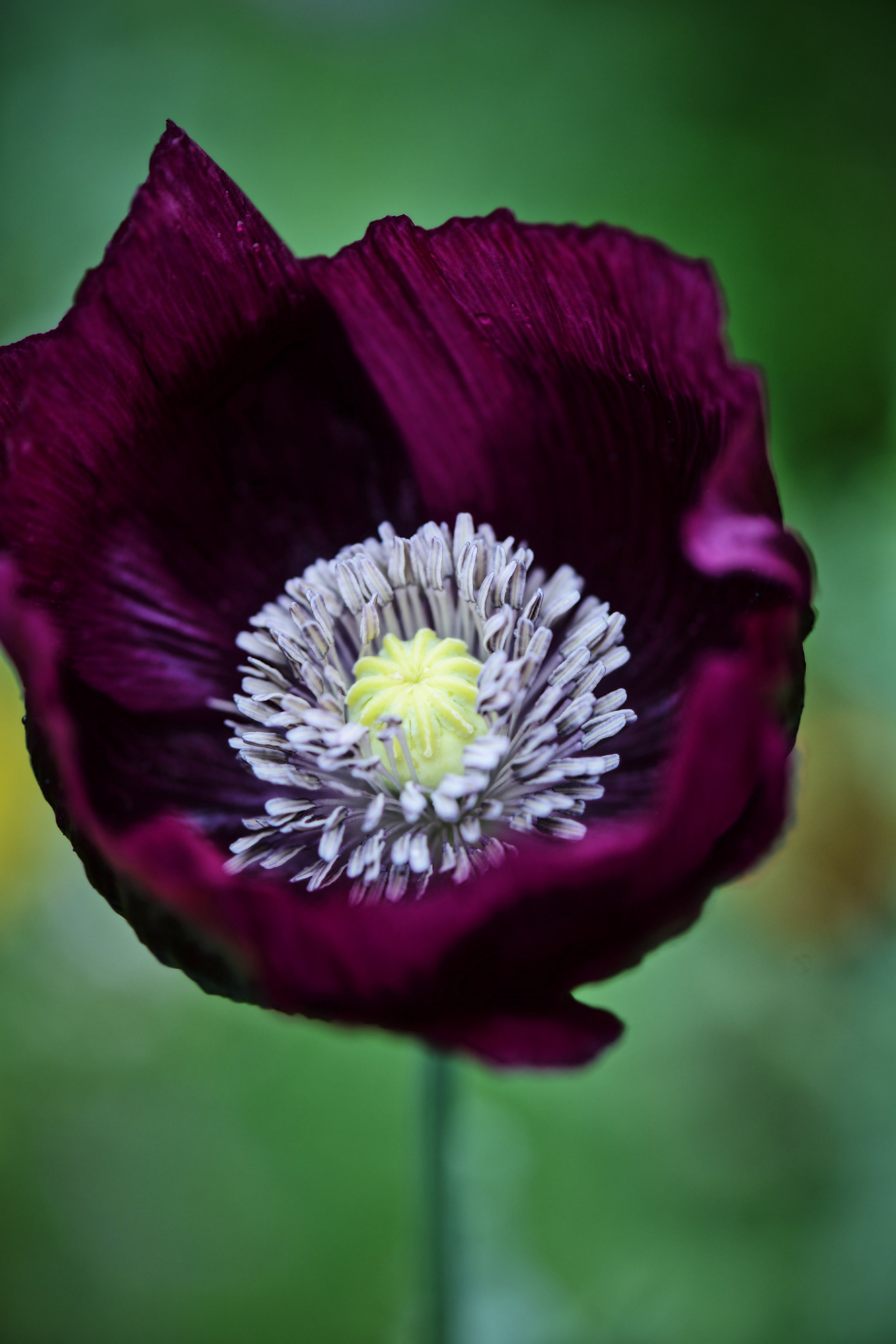 Lauren's Dark Grape Heirloom Poppy