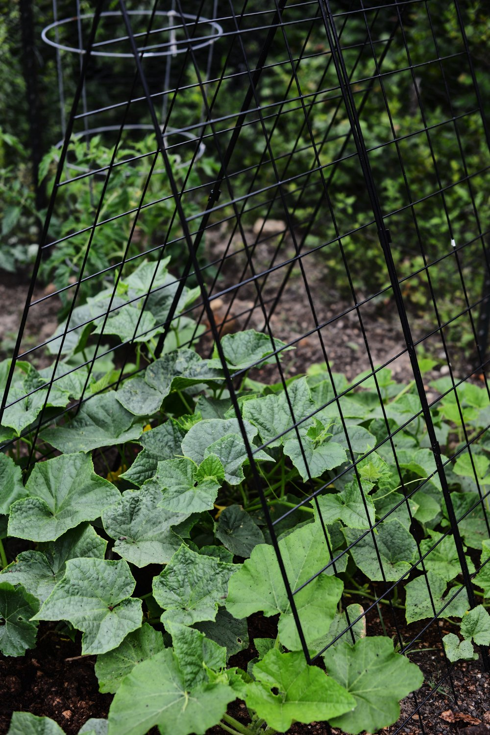 Future pickles taking over this Deluxe Cucumber Trellis by Gardeners Supply Co.